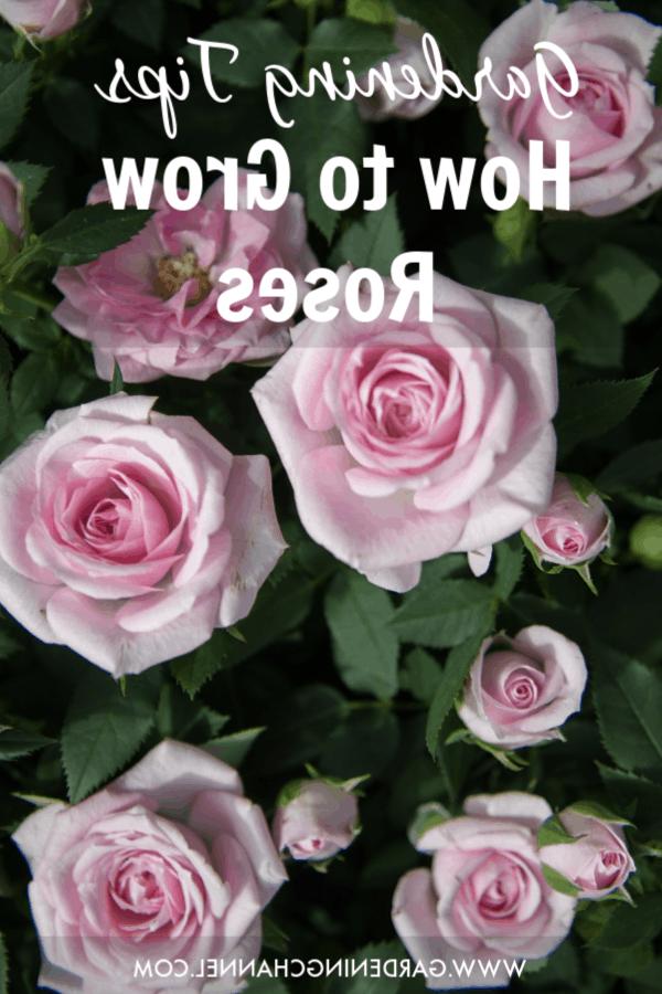 Quel est le rosier le plus Florifere ?